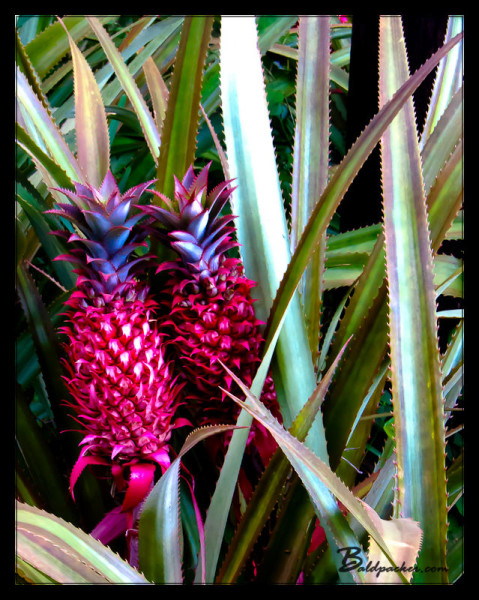 Red Pineapples