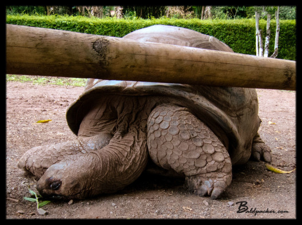 Chamarel Tortoise