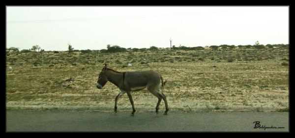 Donkey on the Highway in UAQ