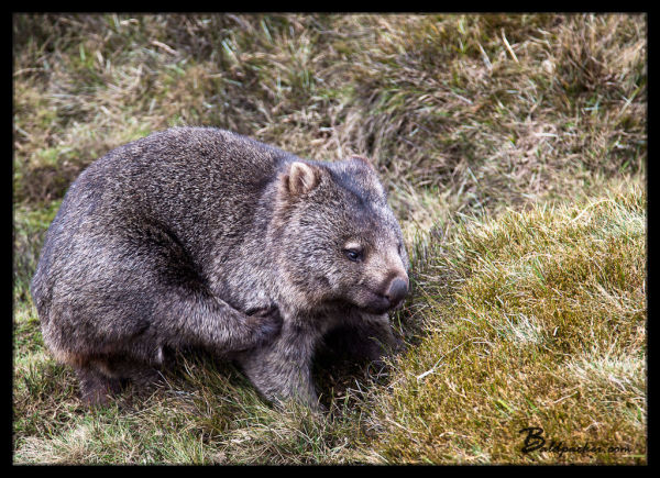 Wombats in Cradle Mountain National Park, Tasmania