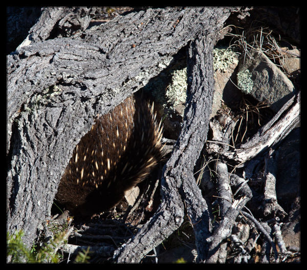 Echidna Seeking Cover Under a Log