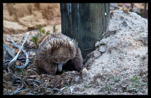 Echidna With A Face Full of Sand