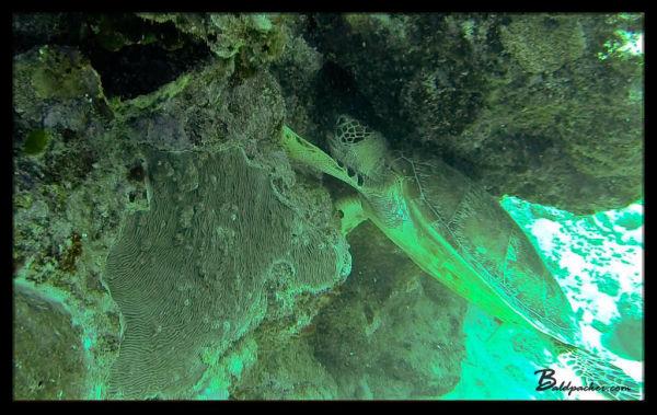 Turtle - Great Barrier Reef