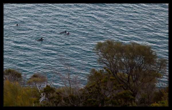 Dolphins in Great Oyster Bay