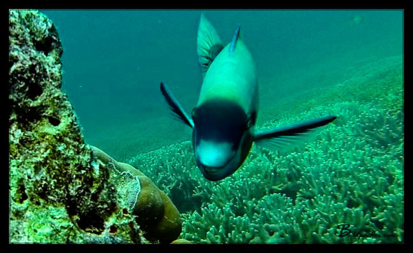 """Buck Tooth"" Fish on Scuba Dive in Yap"