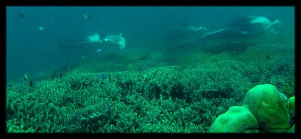 Manta Ray Scuba Dive, Yap
