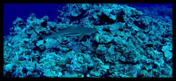 Black Reef Tip Shark, Scuba Dive, Yap