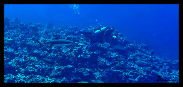 Black Reef Tip Shark Chasing Scuba Diver, Yap