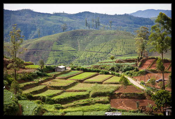 Tea Fields Near Nuwara Eliya