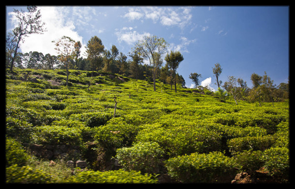 Tea Fields Next to the Train