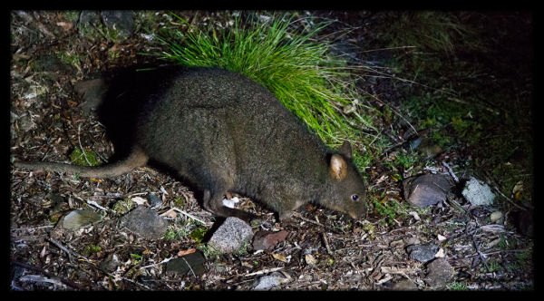 Wallaby out at Night near Mackintosh Dam, Tasmania