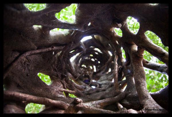 Daintree Rainforest Chinese Finger Trap (Strangling Vines)
