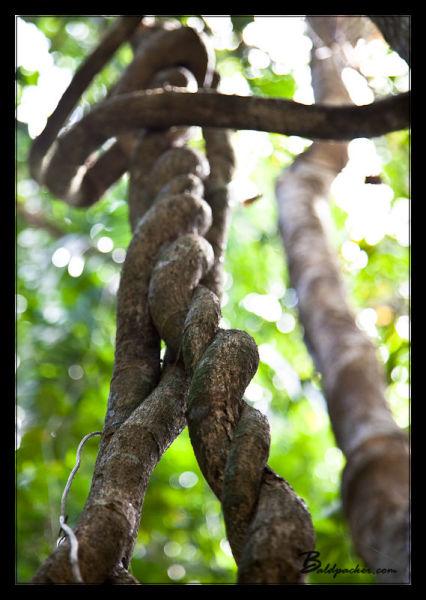 Daintree Rainforest Climbing Vines