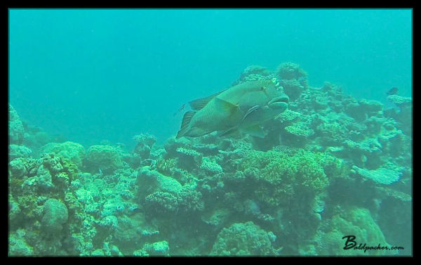 Humphead Wrasse - Left Alone At Last