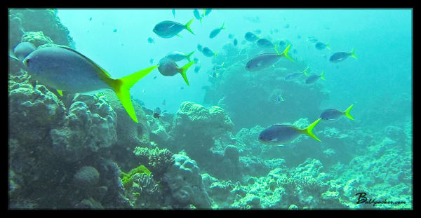 Yellowtail Fusilier - Great Barrier Reef