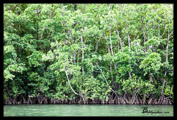 Daintree River Mangroves