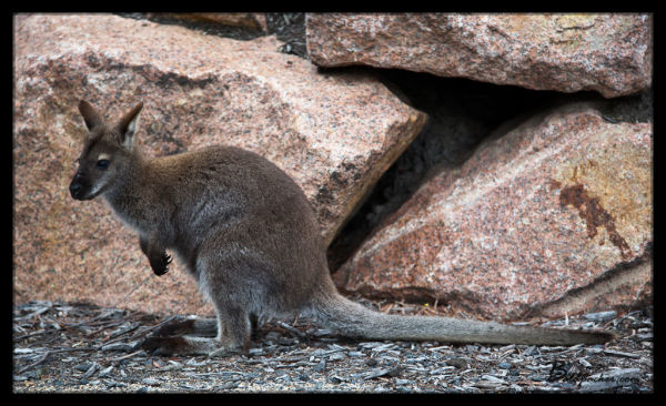 Parking Lot Wallaby