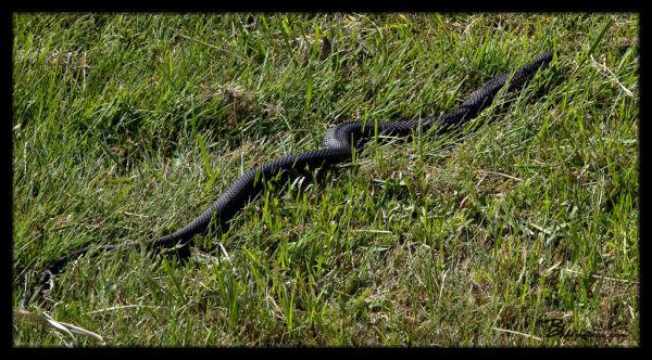 Snake Near Tamar Island Boardwalk