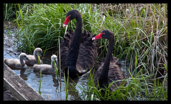 Black Swans on Tamar Island