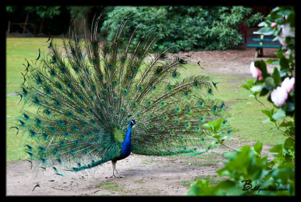 Peacocks in Cataract Gorge, Launceston