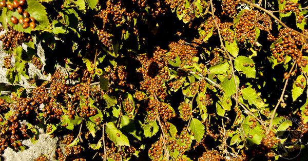 Ladybugs Aggregating to Hibernate, Guadalupe Mountains National Park